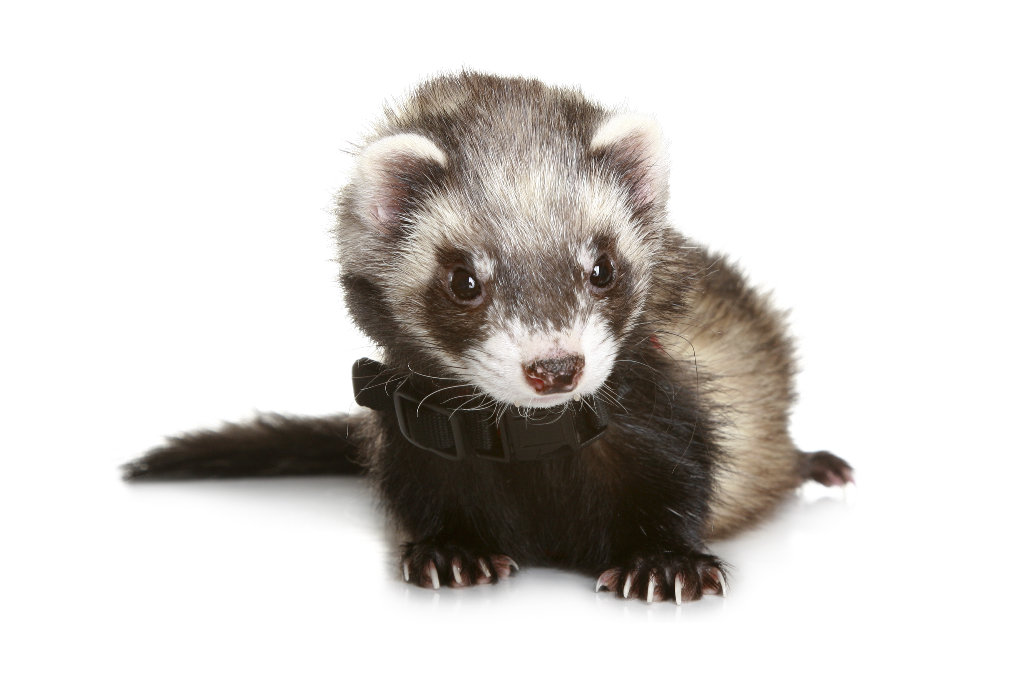 how to train a ferret to walk on a leash