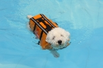 dog swimming in life jacket