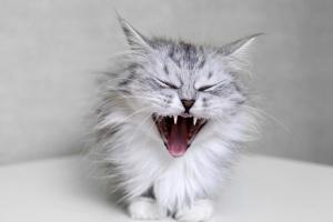 cats-teeth-february-2017
